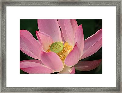 Chinese Lily Framed Print by Linda Russell