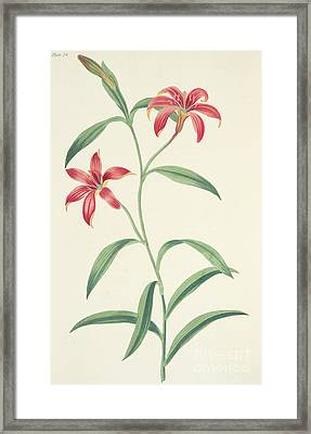 Chinese Lily Framed Print