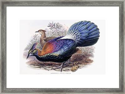 Chinese Monal, Pheasant Framed Print