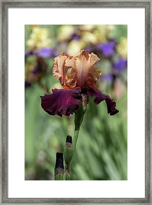Chinese New Year. The Beauty Of Irises Framed Print