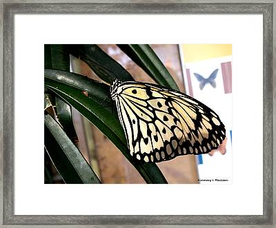 Chinese Yellow Swallowtail Framed Print