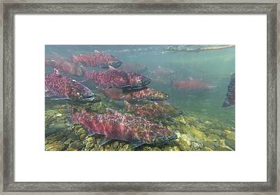 Chinook And Chum Salmon Framed Print