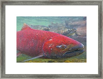 Chinook Salmon Up Close- Abstract Framed Print