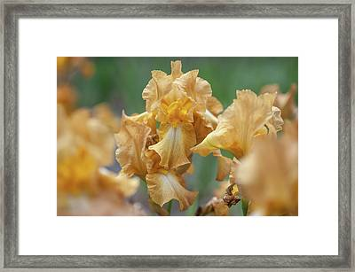 Chinquapin 1. The Beauty Of Irises Framed Print