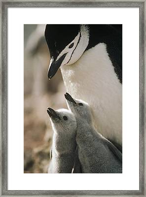 Chinstrap Penguin Pygoscelis Antarctica Framed Print by Tui De Roy