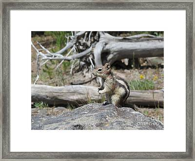 Chipmunk At Yellowstone Framed Print