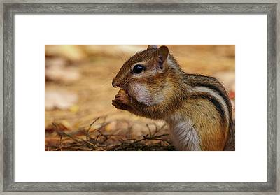 Framed Print featuring the photograph Chipmunk Eating Corn by Bob Orsillo