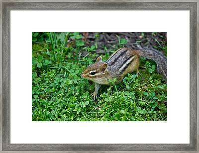 Chipmunk Framed Print by Edward Myers