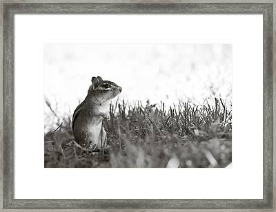 Chipmunk In Black And White Framed Print by Edward Myers