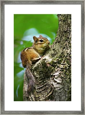 Chipmunk On A Limb Framed Print by Christina Rollo