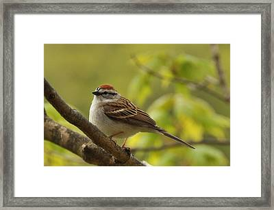 Chipping Sparrow In Sugar Maple Framed Print by Gerald Hiam