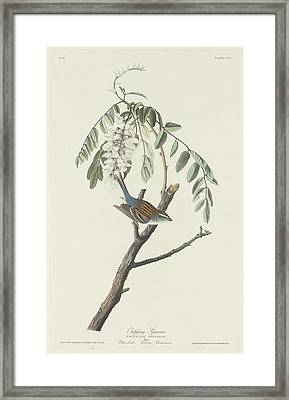 Chipping Sparrow Framed Print