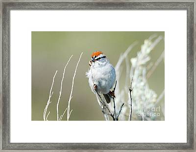 Framed Print featuring the photograph Chipping Sparrow by Mike Dawson