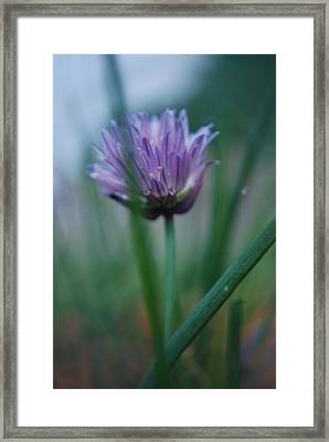 Chive Flower 2 Framed Print by Lisa Gabrius