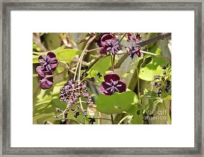Chocolate Vine Framed Print by Terri Waters