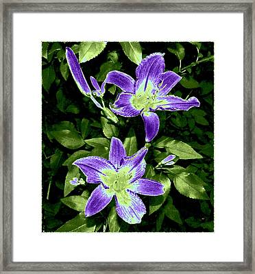 Choice Purple Lilies Framed Print by Will Borden