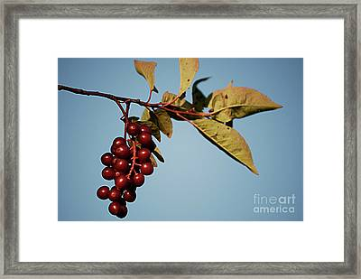 Choke Cherry Framed Print by Randy Bodkins