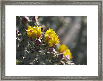 Cholla Blooms Framed Print