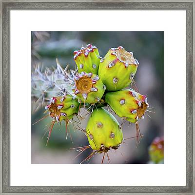 Framed Print featuring the photograph Cholla Fruit S48 by Mark Myhaver