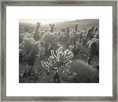 Cholla Morning Framed Print by Joseph Smith