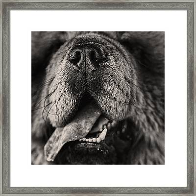 Chow Chow  Framed Print by Stelio Photography