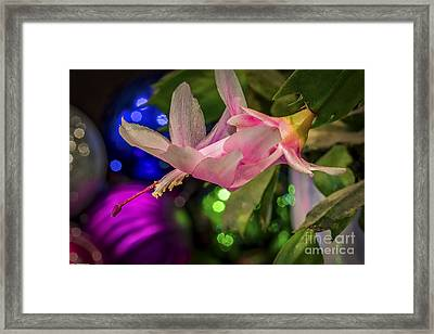 Christmas Bloomers Framed Print