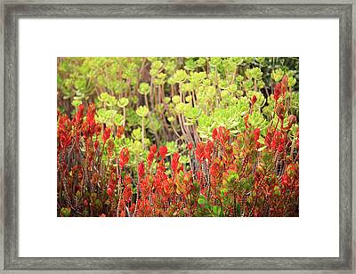 Christmas Cactii Framed Print