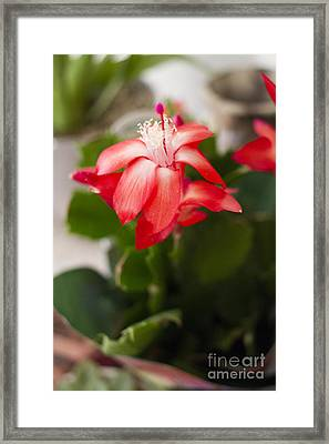 Christmas Cactus Framed Print by Anne Rodkin