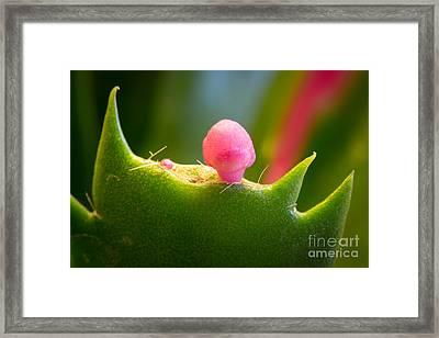 Christmas Cactus Bud Framed Print