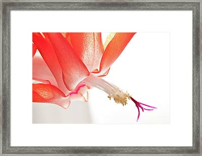 Framed Print featuring the photograph Christmas Cactus Flower by Christine Amstutz