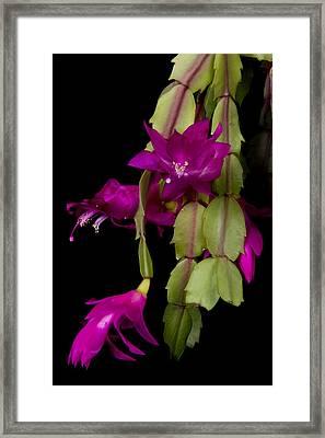 Christmas Cactus Purple Flower Blooms Framed Print