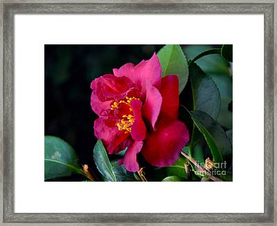 Framed Print featuring the photograph Christmas Camellia by Marie Hicks