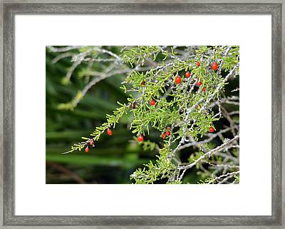 Christmas Colors At St. Marks Wildlife Refuge Framed Print by Carla Parris