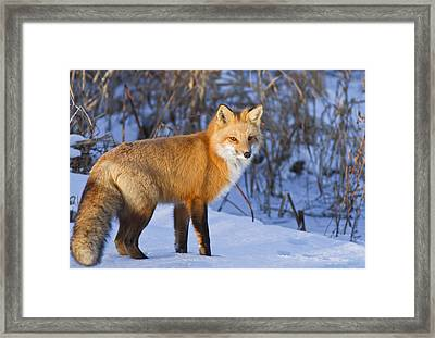 Christmas Fox Framed Print by Mircea Costina Photography