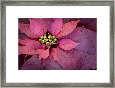 Christmas Poinsettia Framed Print