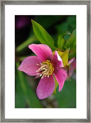 Christmas Rose 2 Framed Print