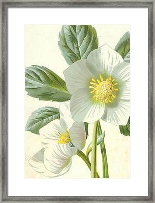 Christmas Rose Framed Print by Frederick Edward Hulme