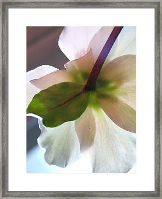 Christmas Rose Framed Print by Susie DeZarn