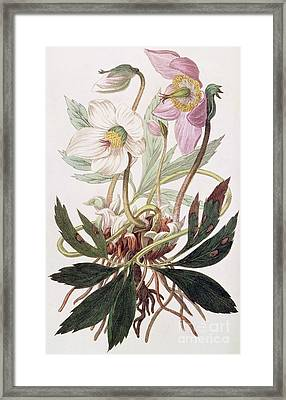Christmas Rose Framed Print