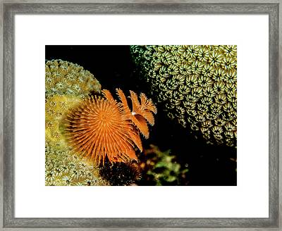 Christmas Tree Worm In The Corner Framed Print by Jean Noren