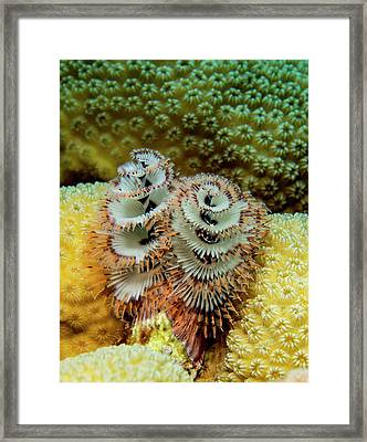 Christmas Tree Worms Framed Print by Jean Noren