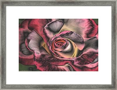Chrome Rose 368 Framed Print