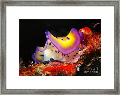 Chromodoris Kunei Nudibranch  Framed Print