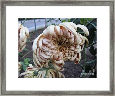 Chrysanthemum 14 Framed Print