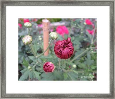 Chrysanthemum 21 Framed Print