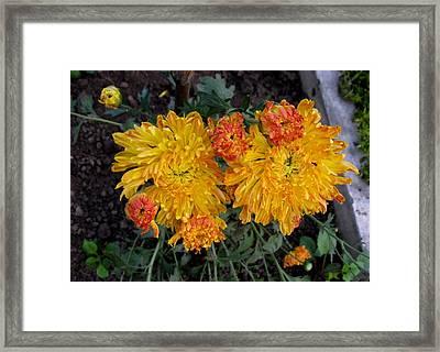Chrysanthemum 6 Framed Print