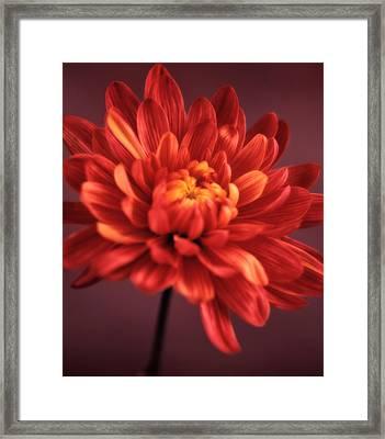 Chrysanthemum 7 Framed Print by Joseph Gerges