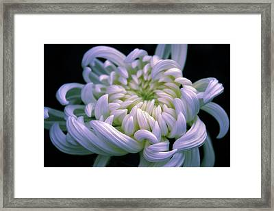 Chrysanthemum At Dawn Framed Print by Jessica Jenney