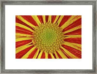 Chrysanthemum Close-up Framed Print by Christine Amstutz