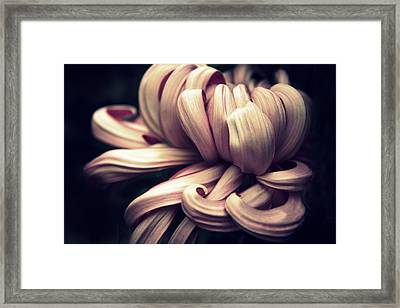 Chrysanthemum Curls Framed Print by Jessica Jenney